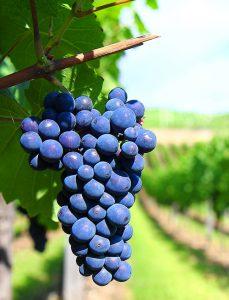 Long-Island-Wine-Tours-Grape 2